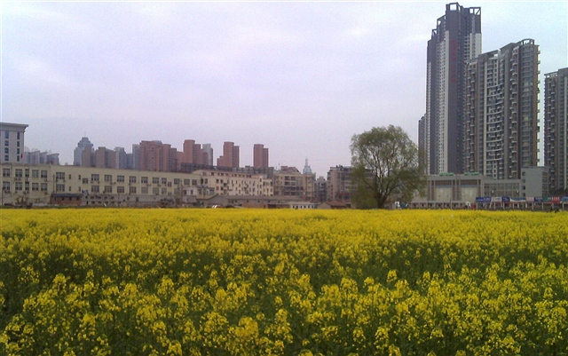 油菜花儿开(散文诗) - 深秋 - 深秋的故事的博客