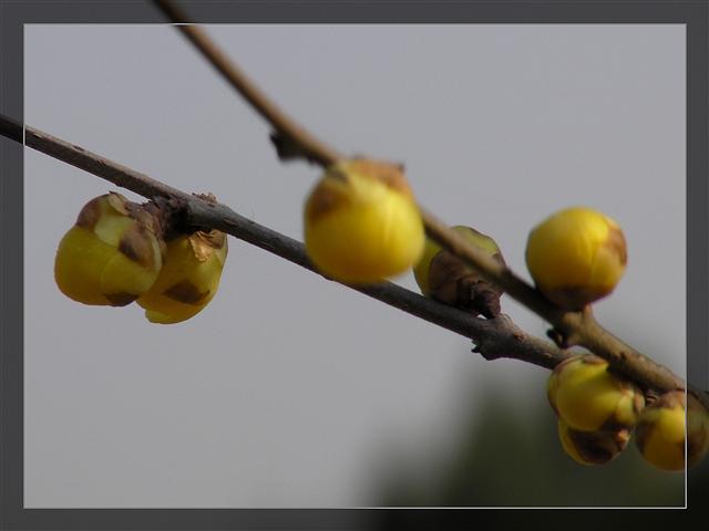 冬日寻梅(看图说话) - 深秋 - 深秋的故事的博客